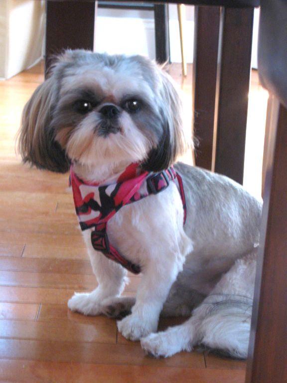 My Gracie Shih Tzu Shih Tzu Puppy Shih Tzu Puppies