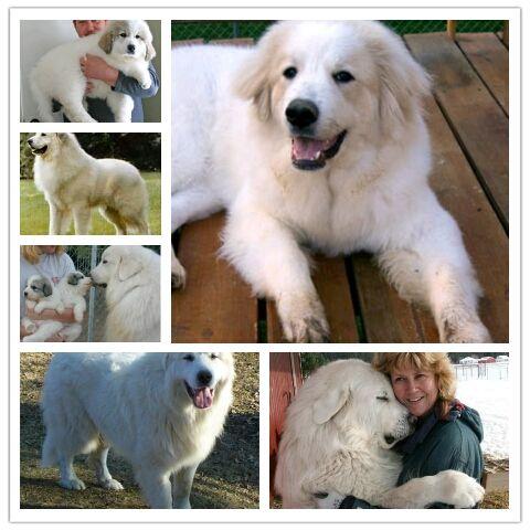 Great Pyrenees   Great pyrenees, Great pyrenees dog, Dog love