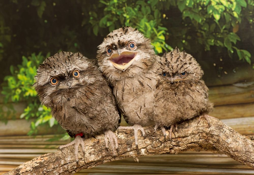 This Might Be The Strangest Living Thing On Earth And We Still Can T Believe It S Real Potoo Bird Pet Birds Birds