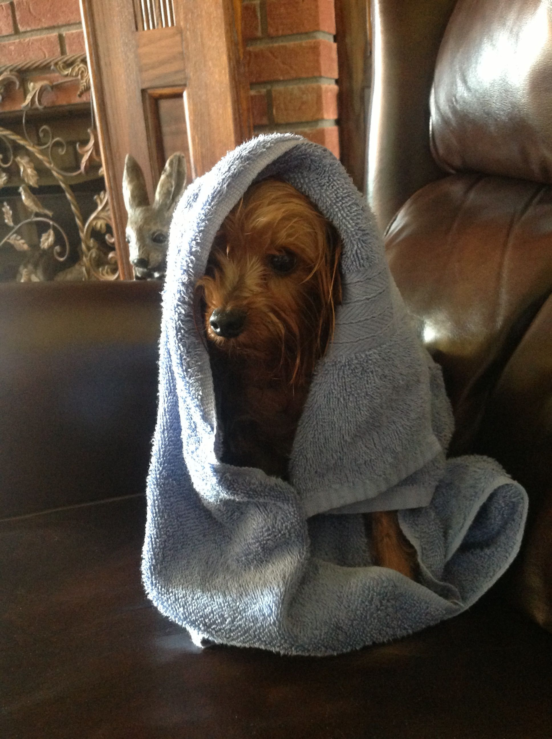 Wesley After His Bath Yorkie With Images Yorkie Cute Little