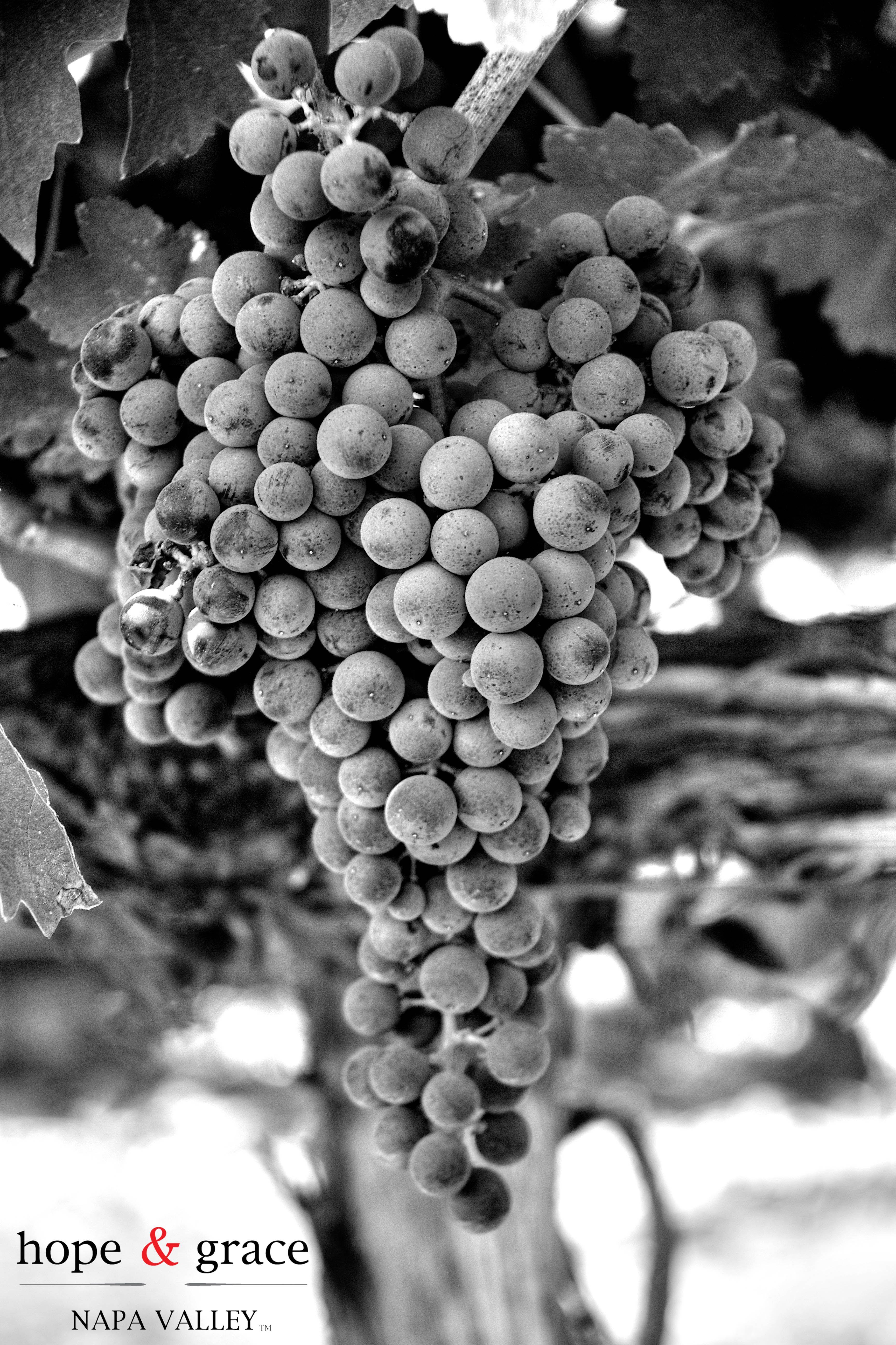 From grapes to wine hope u grace wines food wine u art