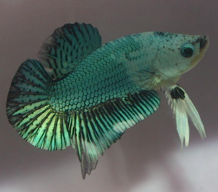 Amazing halfmoon dragon plakat betta for the love of for Halfmoon betta fish