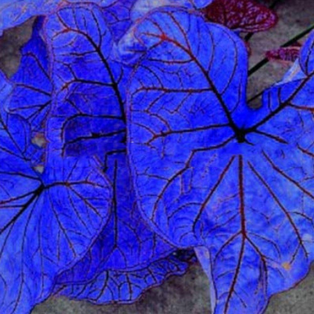Rare Purple Elephant Ear Bulbs Plant Tropical Caladium Perennial Potted Balcony