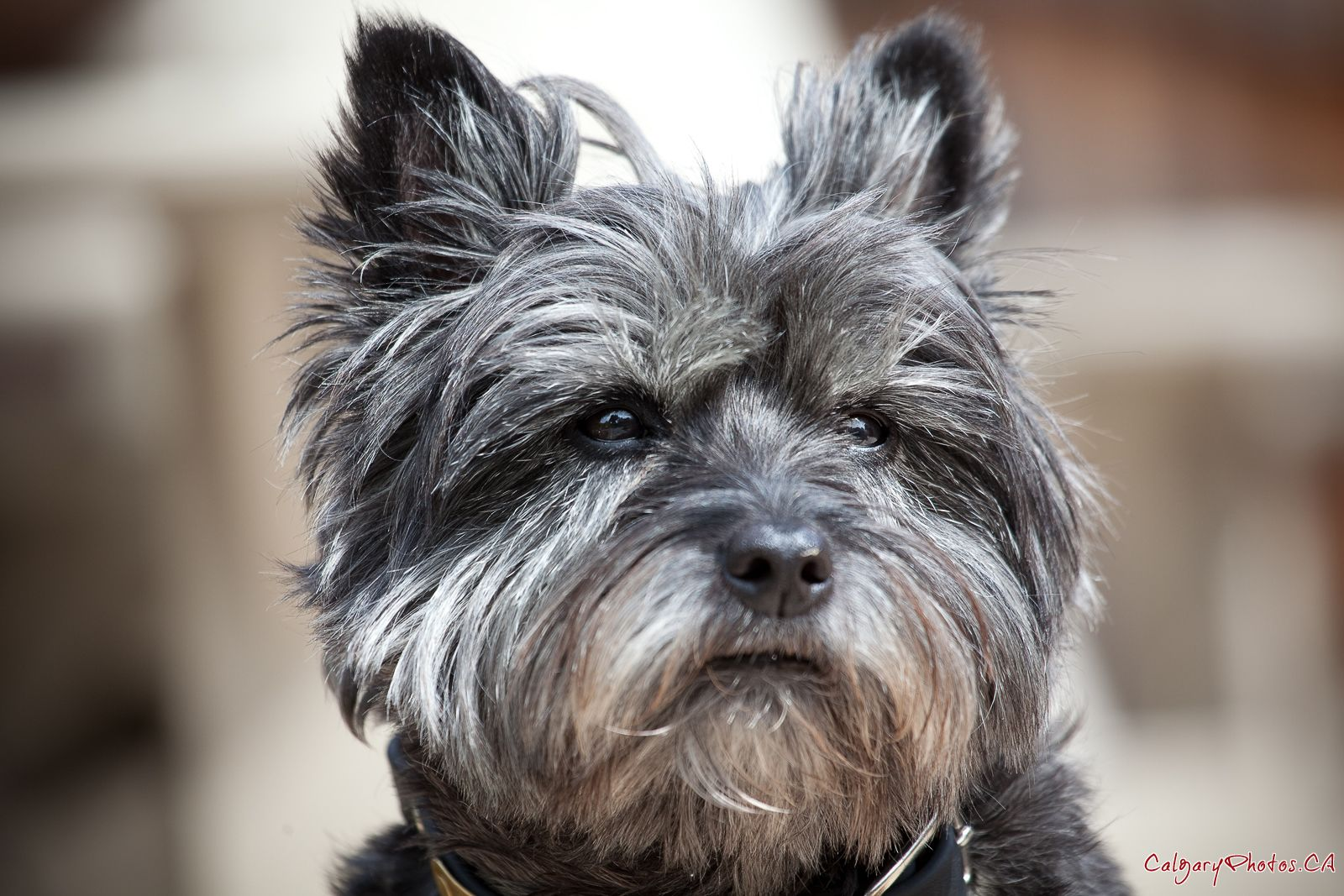 Cairland Terrier Cairn Terrier Dog Breeds