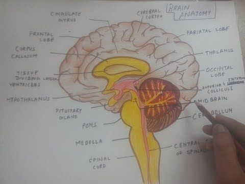 How To Draw Human Brain Anatomy Diagram Easily Youtube Positive