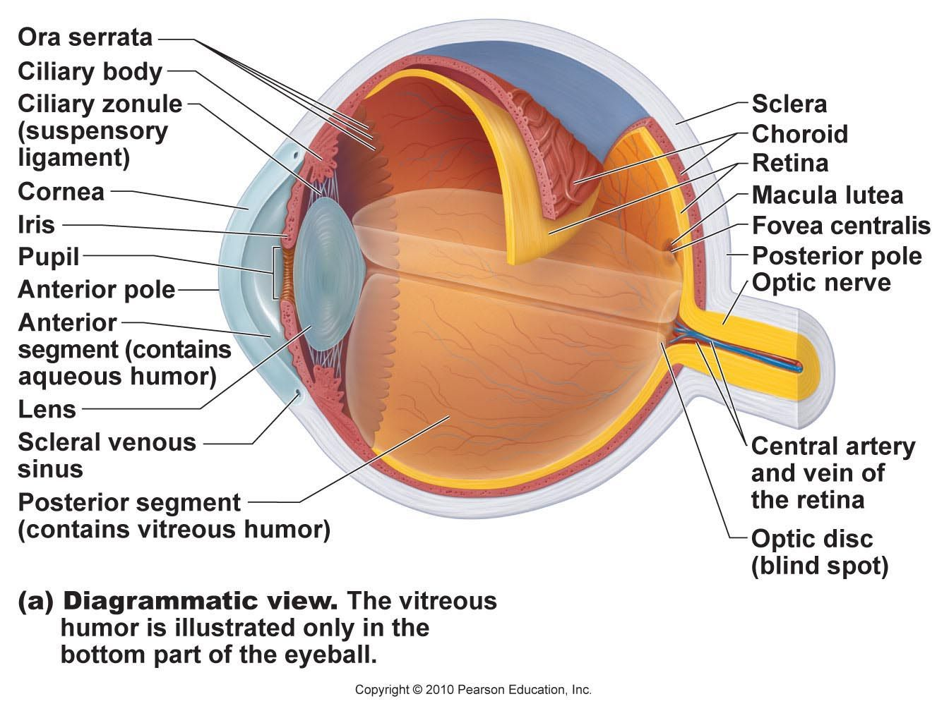 Eye Model Labeled  Bing Images | Biology | Eye anatomy