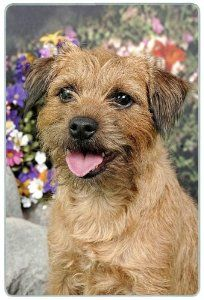 """Border Terrier Cutting Board by Canine Designs. $29.95. Size: 8"""" x 11"""". Hygenic and easy to clean.. Heat resistant.. Made of tempered glass making it virtually unbreakable.. Scratch Resistant - imprinted on back. Our beautiful, dog breed cutting boards will enhance any kitchen. They make great gifts, are made of tempered glass and measure 9"""" x 12"""". They are heat resistant, scratch resistant, virtually unbreakable, easily cleaned and dishwasher safe."""