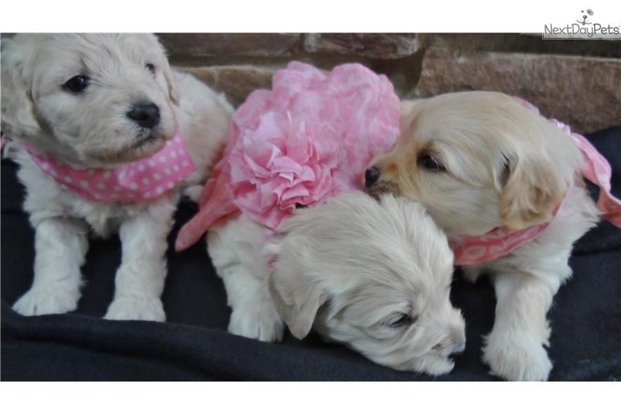 Goldendoodle Puppies For Adoption In Illinois 2021
