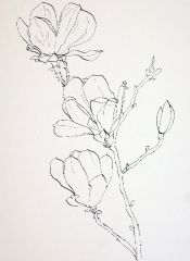 Flower sketches: Drawing Pink Magnolia flowers – Pen and Ink plus Watercolor Wash