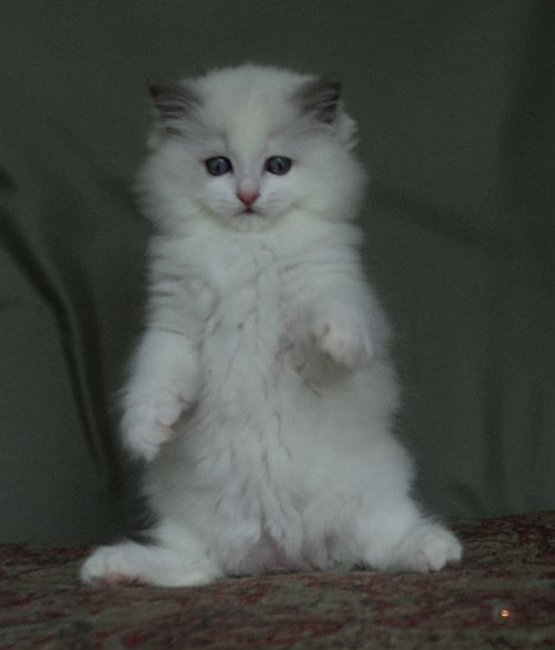 Ragdolls Totally Terrific Ragdoll Kittens In Texas Kittens Cattery Cats