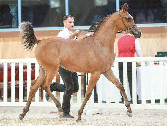 اليوم تختتم بطولة قطر المحلية لجمال الخيل العربية ٢٠١٦ Arabian Horse Horses Animals