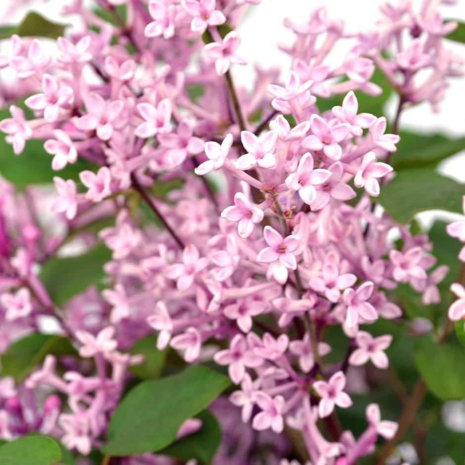 Repeat Flowering Lilac My Flower Bed Pinterest Lilacs Perfume
