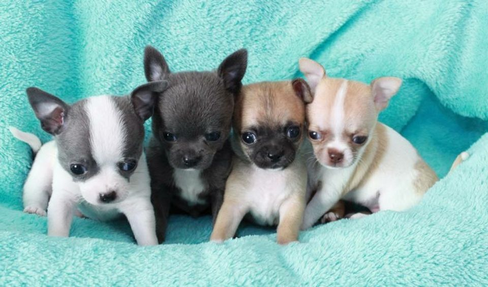 Las Vegas Tiny And Exclusive Color Chihuahua Puppies Welcome
