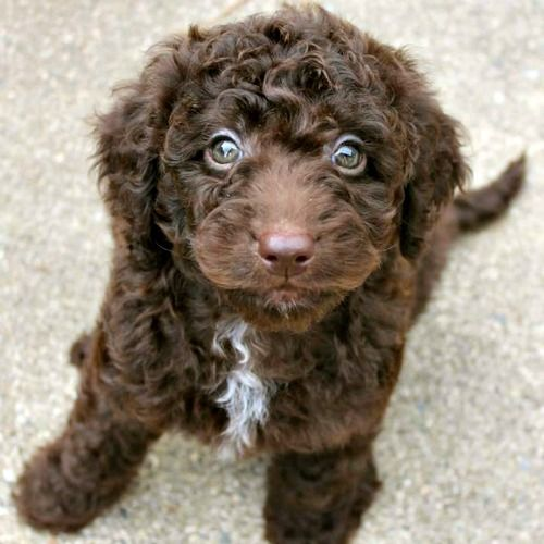 Gracie S Past Litters Of Chocolate Australian Labradoodles Chocolate Labradoodle Labradoodle Miniature Labradoodle Puppy