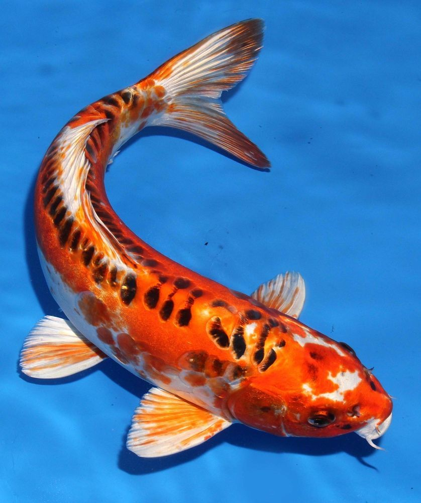"The 75 Best Koi Fish Tattoo Designs For Men: Live Koi Fish 13-14"" Doitsu Kujaku Koibay"