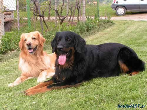 Hovawart Animals Large Dogs Dog Breeds