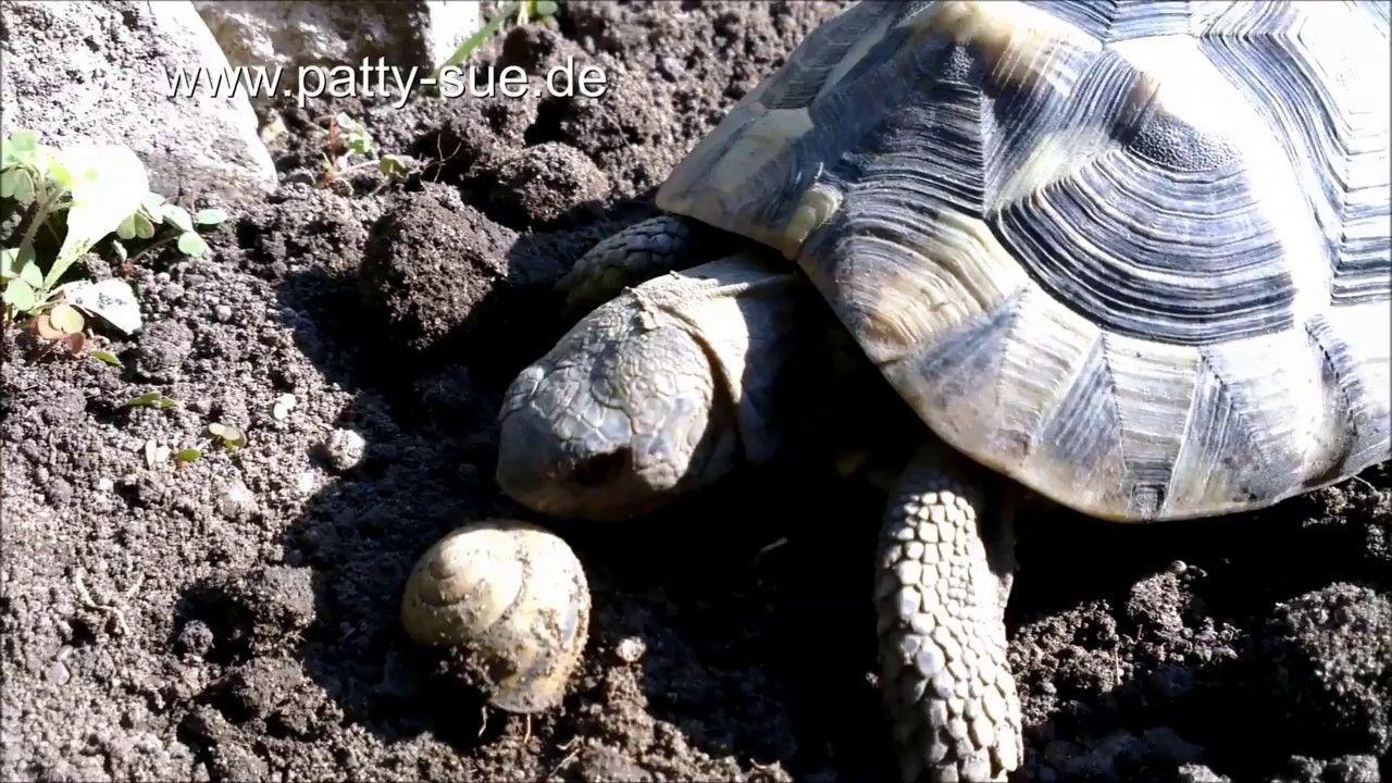 Kalzium Ist Fur Schildkroten Sehr Wichtig Viele Pflanzen Enthalten Kalzium Des Weiteren Erhalten Sie Landschildkroten Griechische Landschildkrote Schildkrote