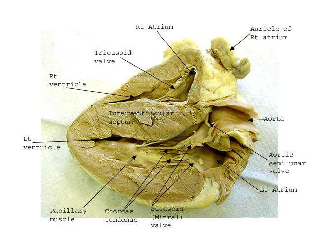 Image Result For Sheep Heart Labeled Anatomy And Physiology
