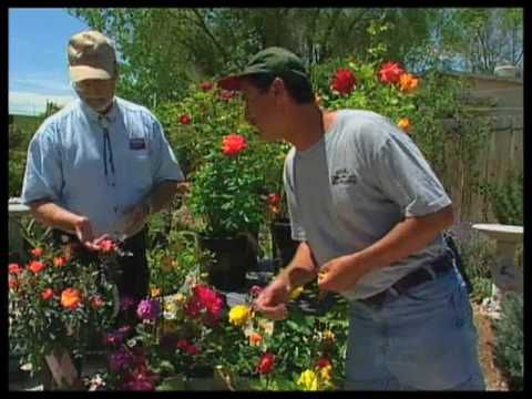 How To Prune Roses In The Summer Youtube This Is The Best Video I Ve Found About How To Get Rid Of T Landscaping Garden Plants Pruning Roses Growing Roses