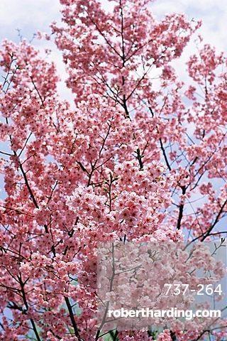 Spring blossom at Ueno-koen Park, Ueno, Tokyo, Japan, Asia