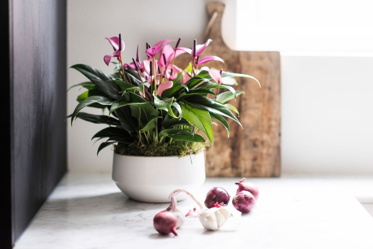 Anthurium Potting Compost Is It Really Necessary For Your Plant Anthurium Plants Orchid Soil