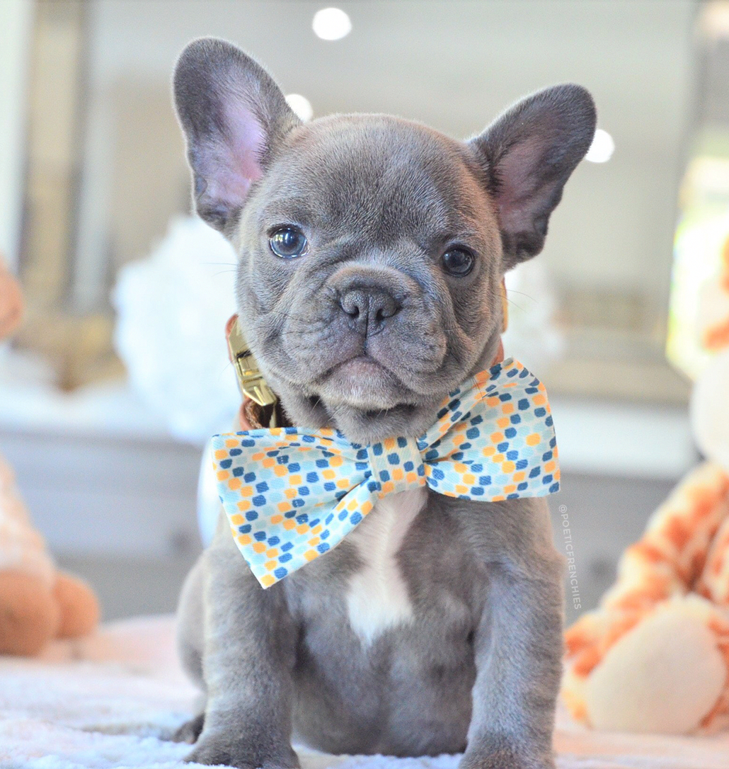 French Bulldog Playful and Smart Bulldog puppies