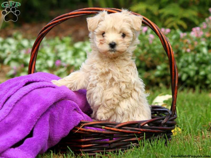 Havapoo puppies for sale in pa havapoo puppies puppies