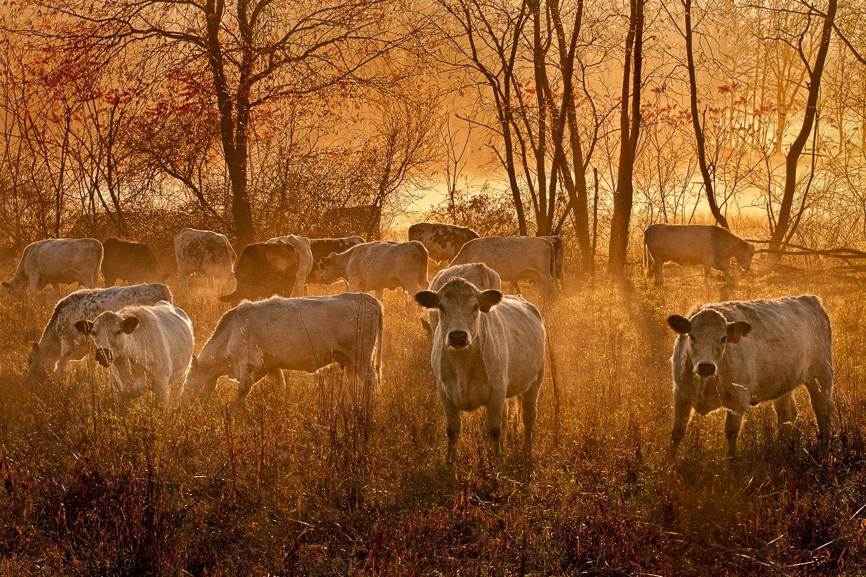 Cows at sunrise