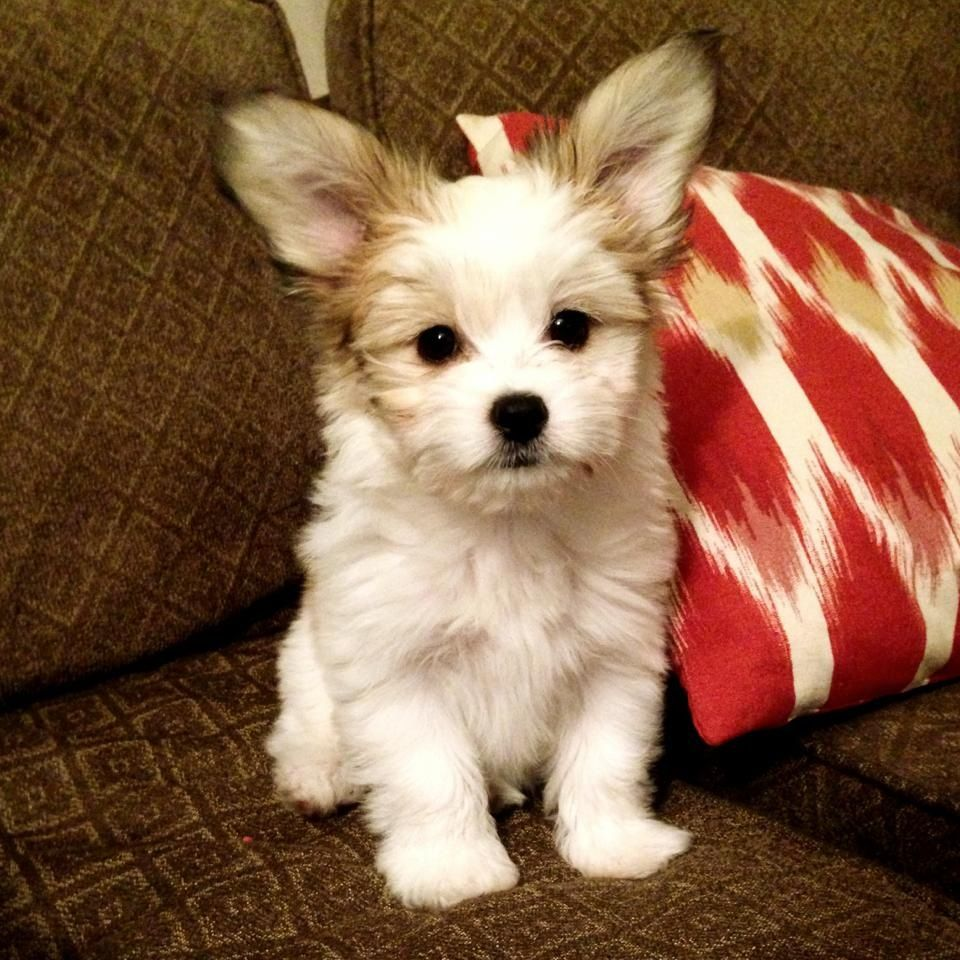 Papillon Maltese Mix My Little Love Puppy Time Maltese Dogs Happy Animals