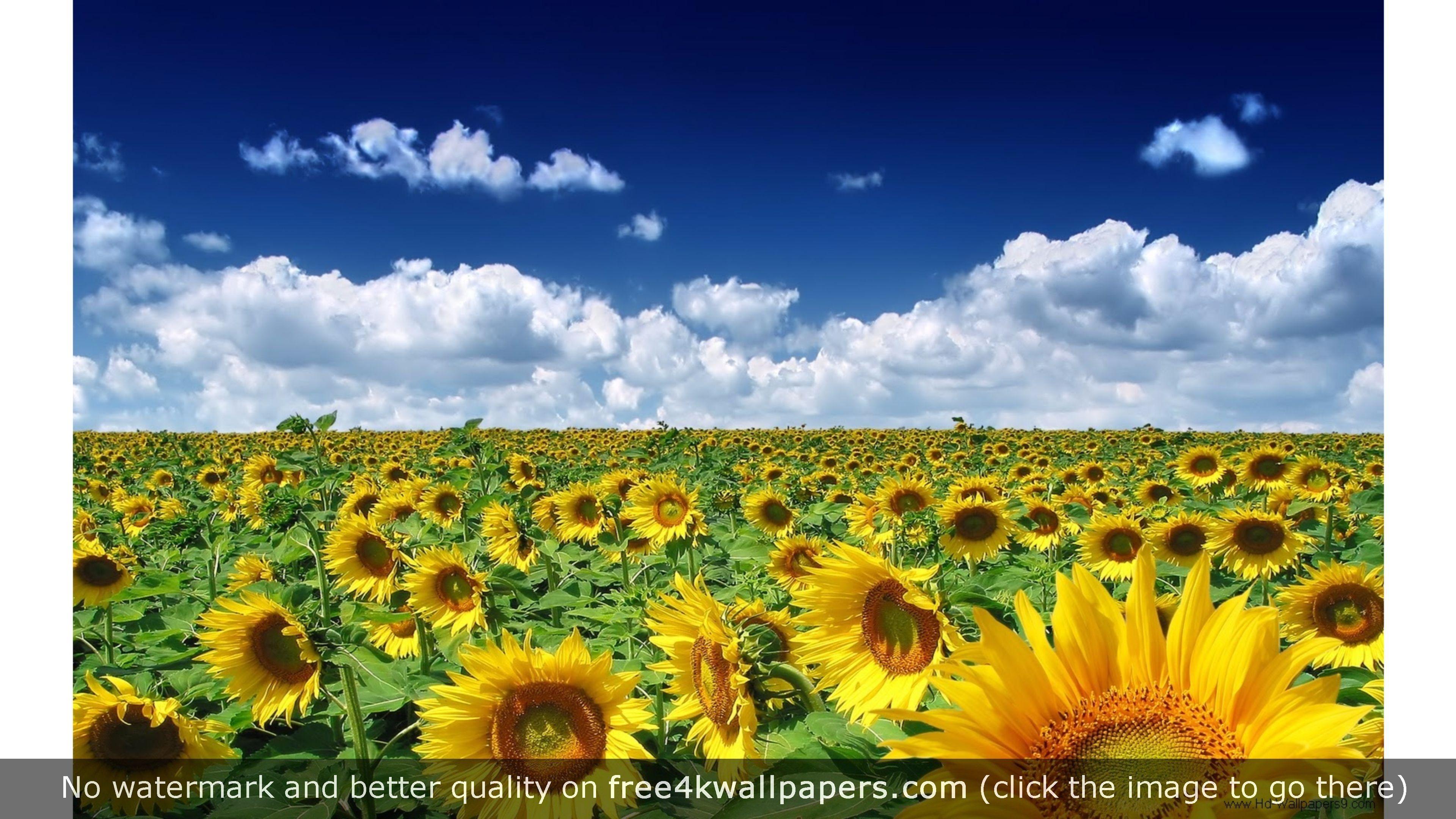 Sunflowers Summer Wallpaper Summer Wallpaper Spring Wallpaper