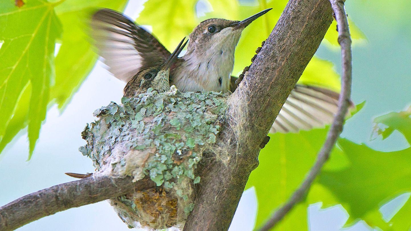 Hummingbirds Make an Incredible Journey North Beautiful