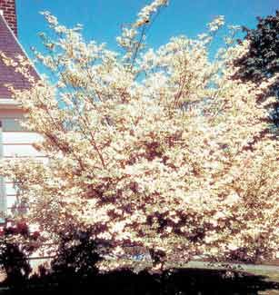 White Dogwood Trees Fruit Berry Plants Rose Bushes Perennials Summerstone