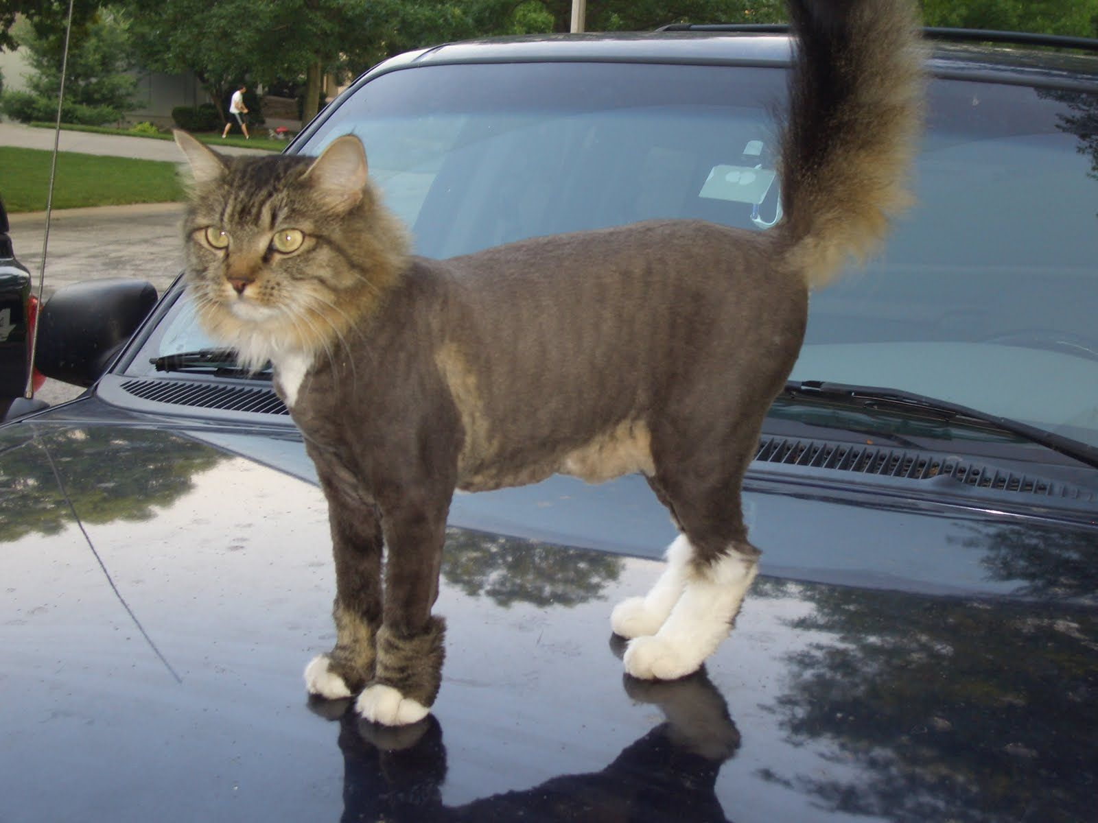 should long hairs cats be shaved