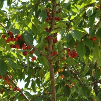 Sweet Cherry Trees From Stark Bro S Sweet Cherry Trees For Sale Cherry Tree Sweet Cherries Fruit Trees