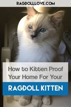 How to Kitten Proof Your Home For Your Ragdoll Kitten. Ragdoll kittens are bundles of curiosity energy and spaz! They want to smell bite lick and play with everything. Thats why you must kitten-proof your home for your Ragdoll to ensure that these adorable little fluff balls dont destroy your stuff (or harm themselves). #ragdollcat #ragdollkitten #cat #catcare #cattips #ragdollkittens How to Kitten Proof Your Home For Your Ragdoll Kitten. Ragdoll kittens are bundles of curiosity energy and spaz! #ragdollkittens