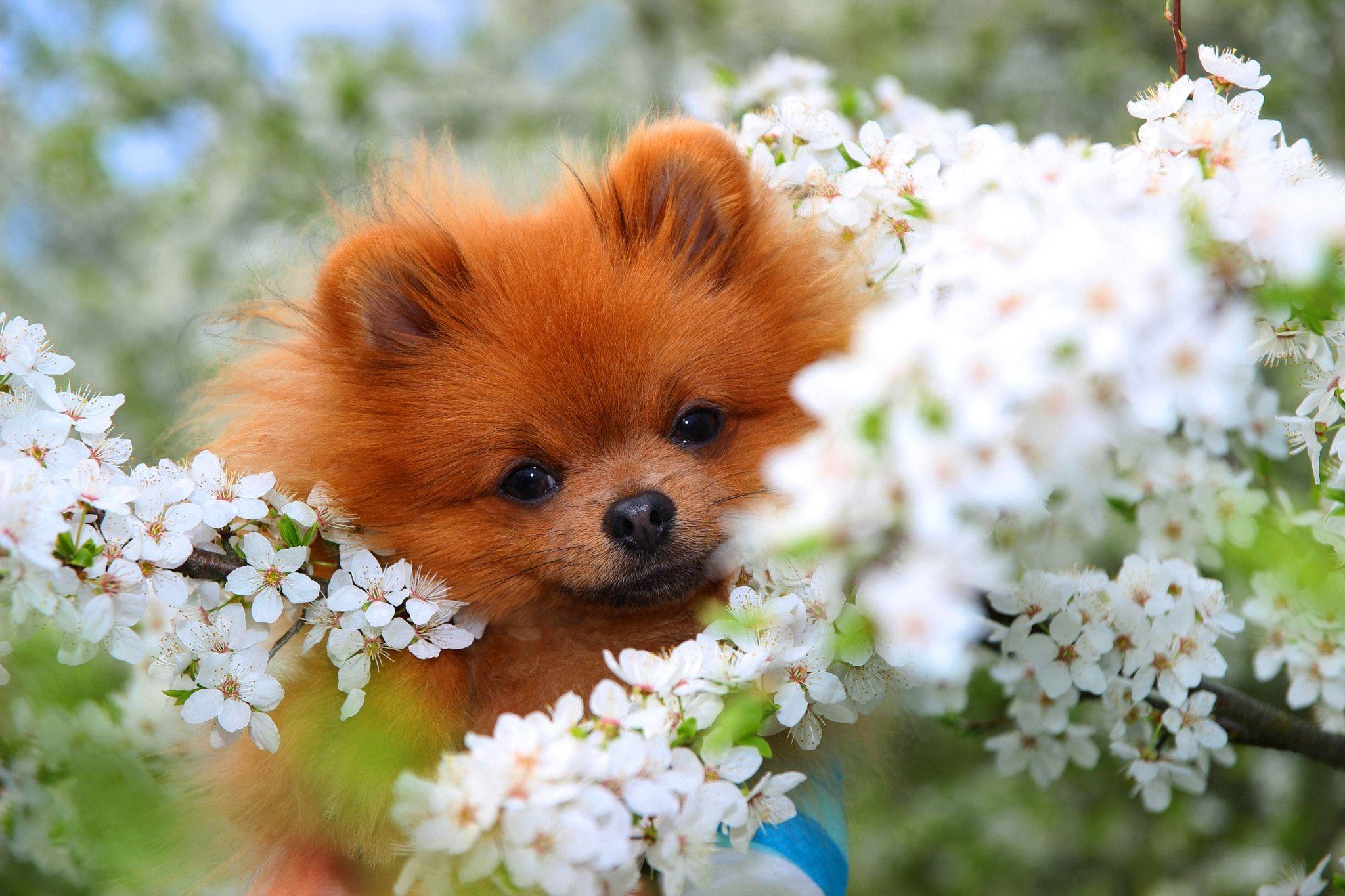 Img_7982jpg pomeranian dog in spring blossom