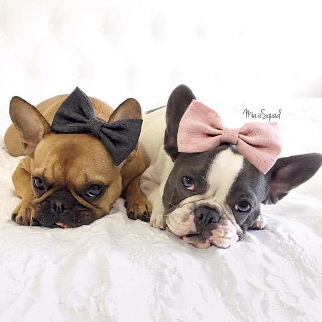 Bows Before Bros Girl Power French Bulldogs Mia Squad On Instagram Girl And Dog French Bulldog Dog Bows