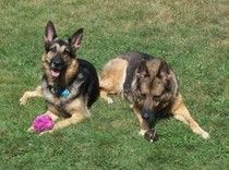 Pictured here are my female GSDs - SG Olivia vom Reichtal SchH3 IPO3 TR3 OB3 WH Kkl2 AD CD HIC CGC TC OFA good H 'a' normal hips and her daughter Brat vom Haus Weinbrand SchH3 OB1 AD CGC TC OFA good H 'a' normal hips.