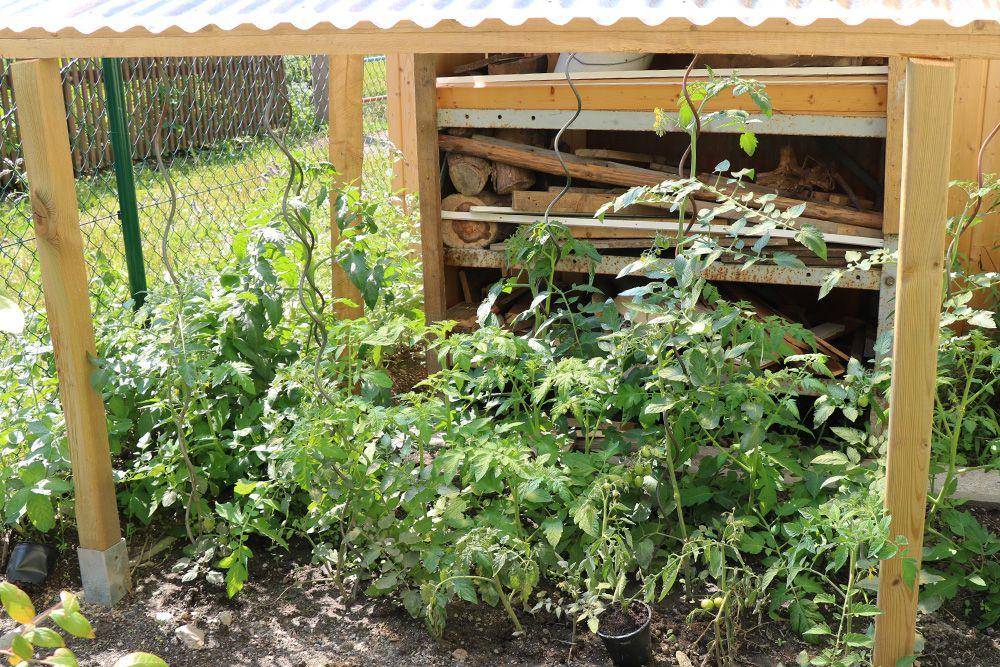 Tomaten Im Beet Kultivieren So Gelingt Das Perfekte Tomatenbeet Tomaten De Tomaten Pflanzen Tomaten Wachsenden Pflanzen