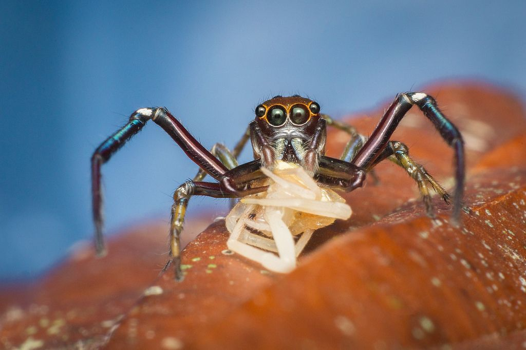 Salticidae vs Thomisidae | Insects | Insects, Jumping ...