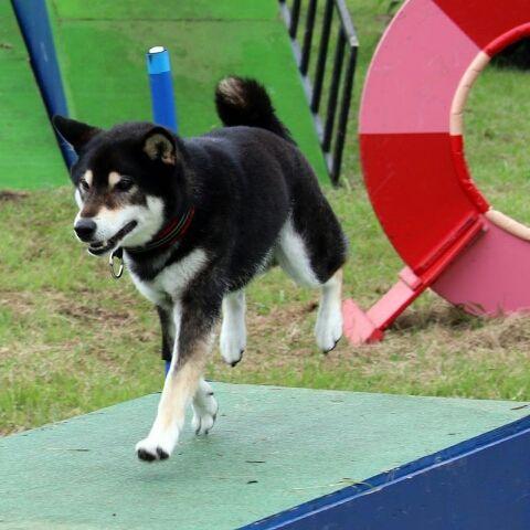 先を急ぐけれど 落ちないように ね みか くま 犬 柴 ペットスマイル ペット 犬 ペット用品