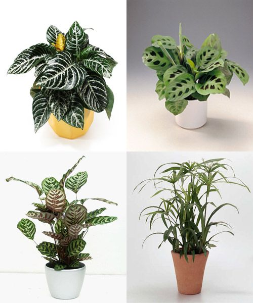 Afelandra caladio calatea y paraguas plantas for Plantas de interior con poca luz