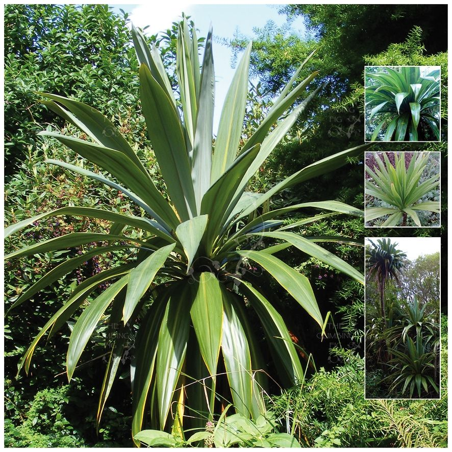 CORDYLINE Morning Sword Seeds. Wide strappy leaves ideal