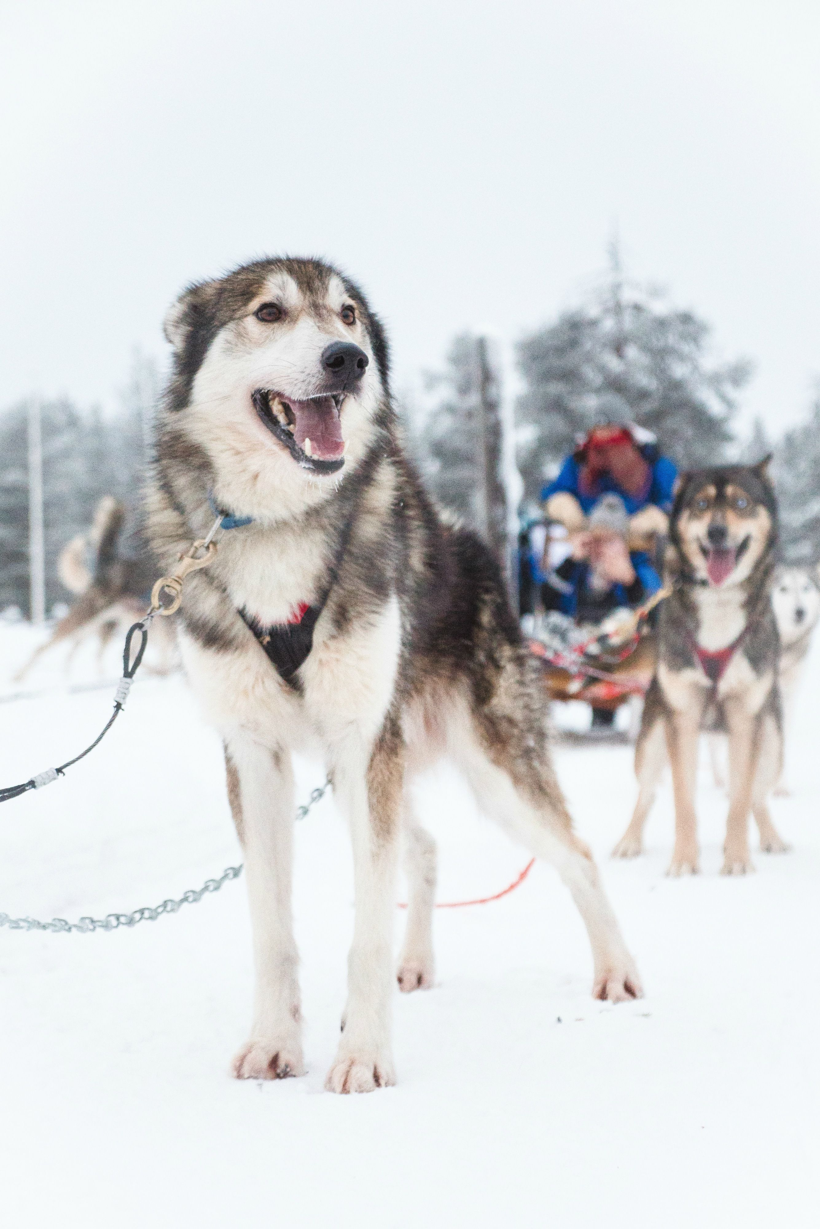 Husky Sledding In Salla Finland Smiling Dog Dog Photography