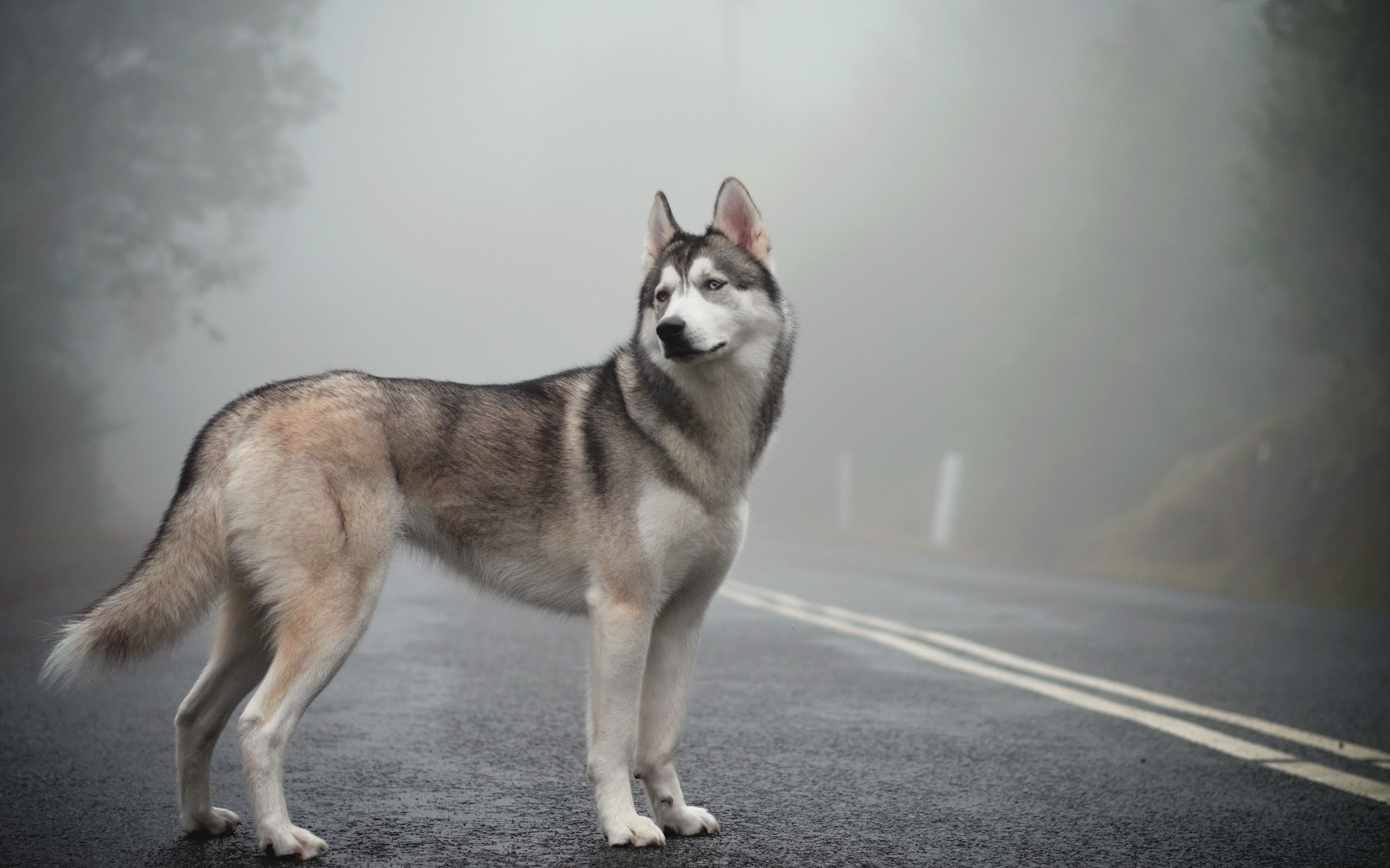 Review Husky Animals Beautiful Pet Dogs