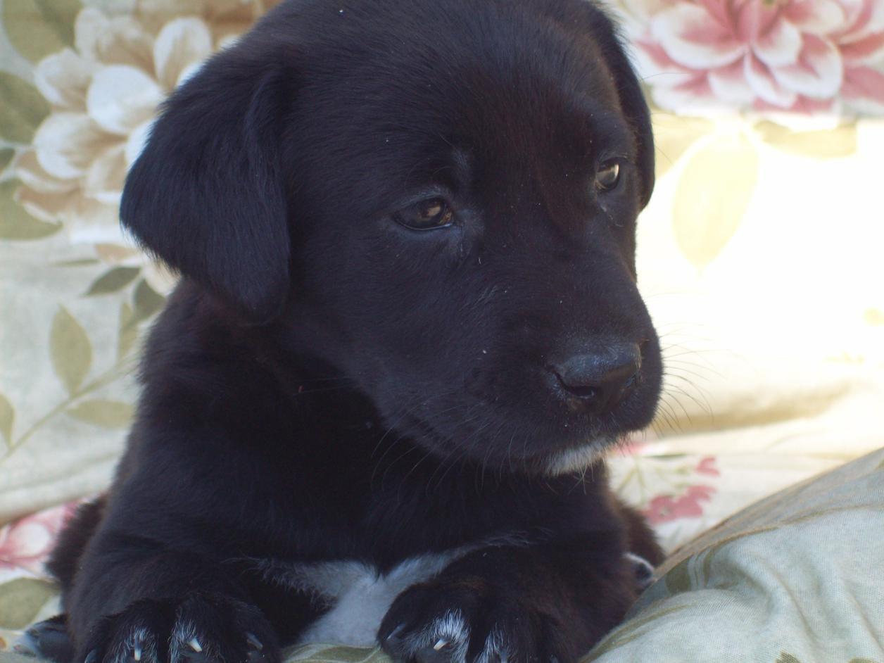Baby black lab black labrador retriever cute animals