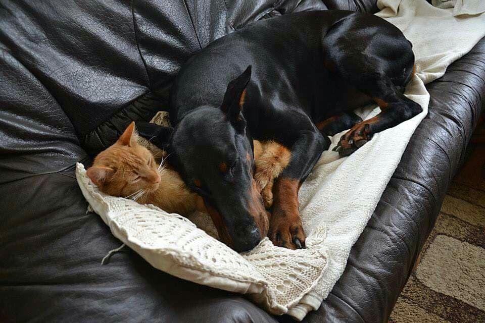 Doberman Loves His Cat Pillow Doberman Love Doberman Pincher