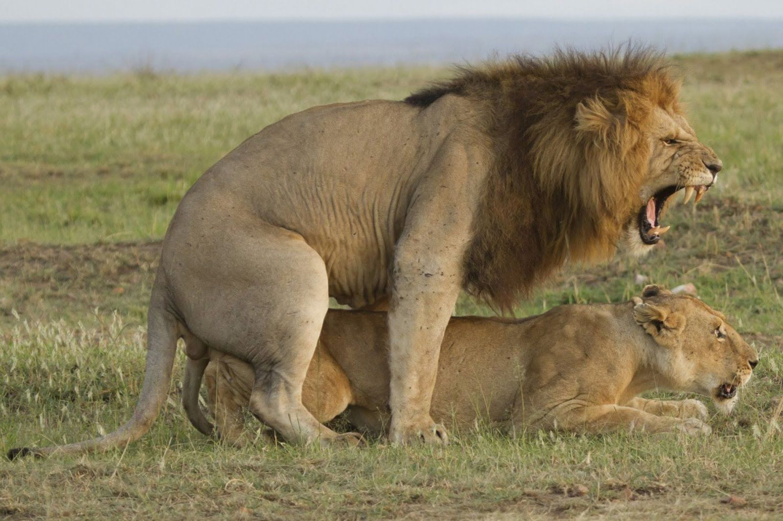 Animals mating at the zoo wild animals lions mating