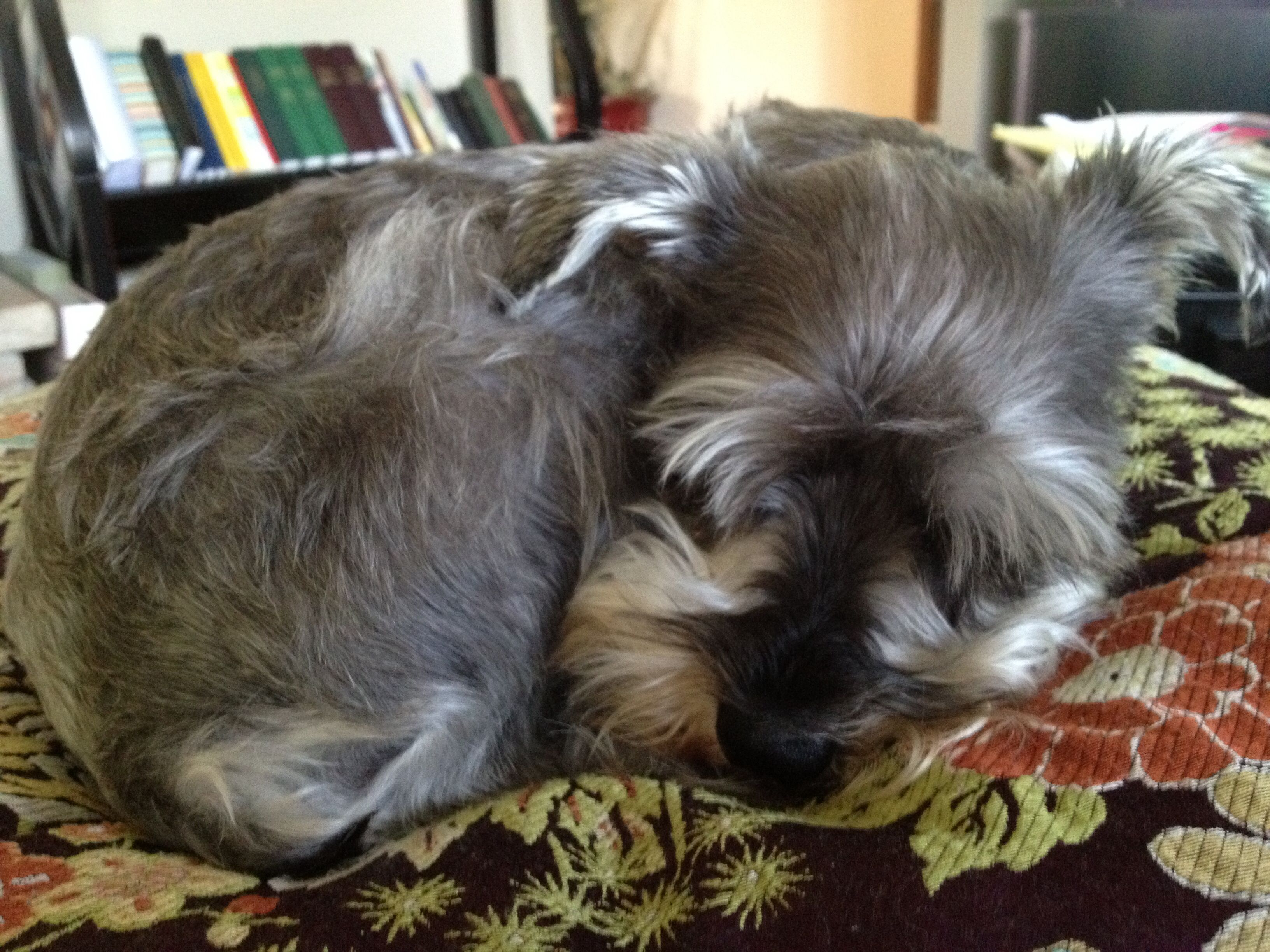 Macy Curled Up In A Ball Miniature Schnauzer