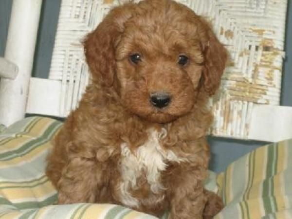 Goldendoodle Puppy This Is For Aleksandra Georgieva Doodle Dog Golden Retriever Poodle Mix Goldendoodle